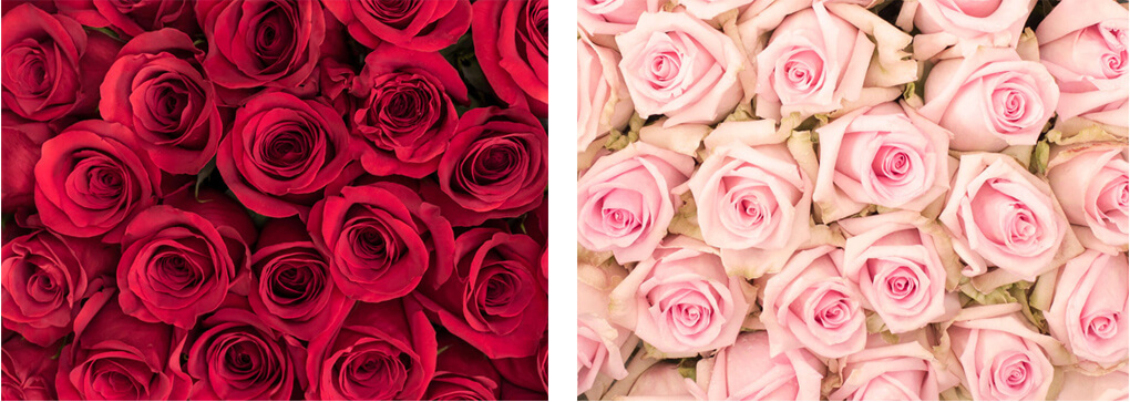 Rose colors and their meaning sense ecuador red pink roses rose colors and their meaning mightylinksfo