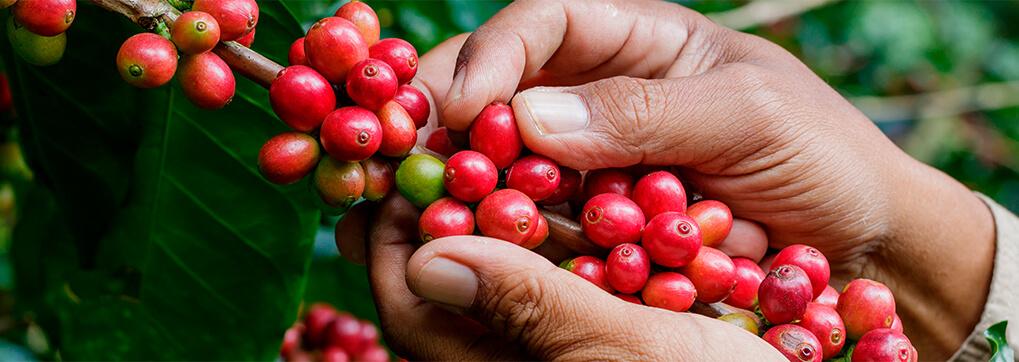Gourmet coffee from Ecuador is literally unique